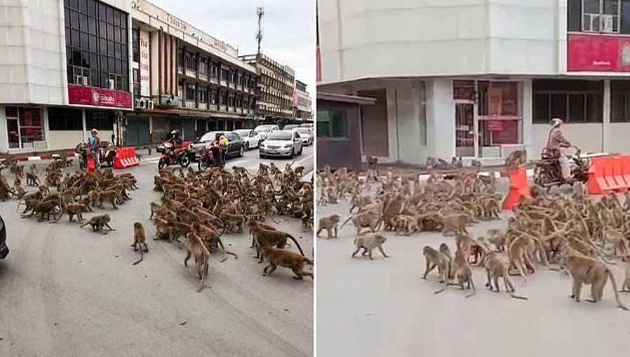 Macacos brigam em rua da Tailândia