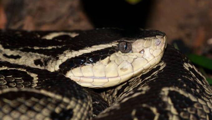 Veneno de cobra brasileira inibe covid